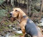 basset hound hunting